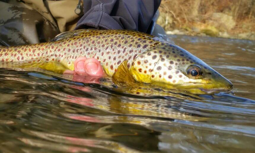 269a0e51145 Wild vs Stocked   The Hierarchy of Trout in Pennsylvania